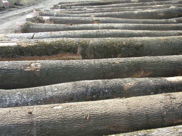 白蜡木 材性   欧洲白蜡木材质量高,坚固耐用,有弹性和美丽